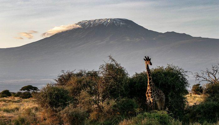 Kenia, giraffe